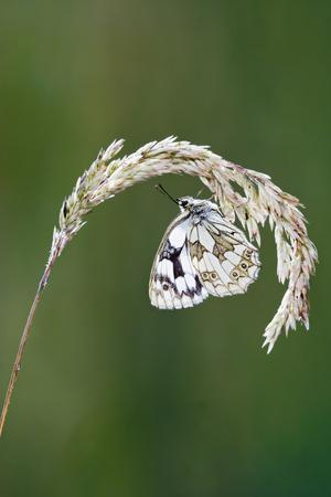 Marbled White Resting on Grass Wings Closed