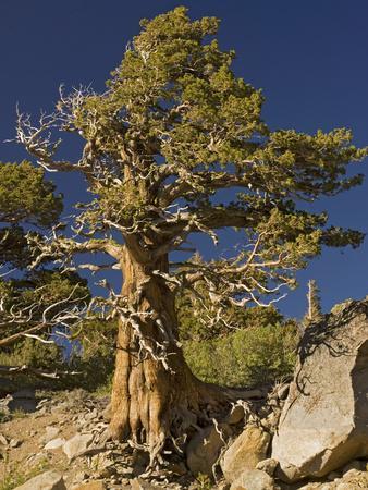 Ancient Sierra, Western Juniper at About 10,000