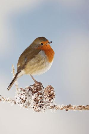 Robin on Snowy Branch