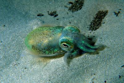 Southern Dumpling Squid Has a Luminescent Light
