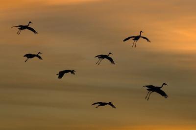 Greater Sandhill Cranes in Flight, Coming In