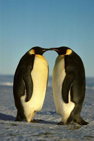 Emperor Penguin Pair Facing Each Other