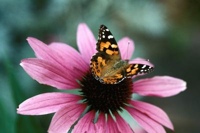 Australian Painted Lady Butterfly on Purple Coneflower