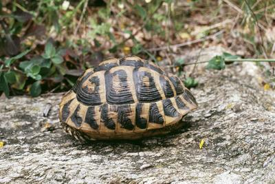 Hermannos Tortoise