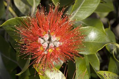 New Zealand Christmas Tree, Pohutukawa in Flower