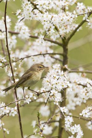 Chiffchaff on Blackthorn Blossom