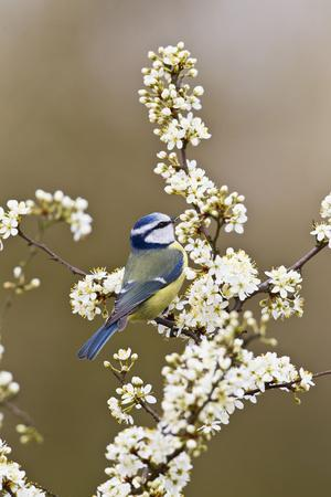 Blue Tit Taking Flies from Blackthorn Blossom