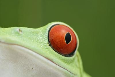 Red-Eyed Treefrog - Close Up of Eye