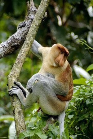 Proboscis Monkey Adult Male Waking Up