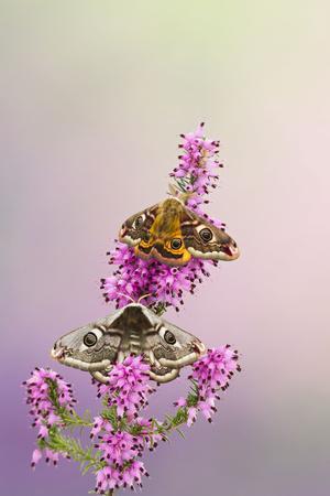 Emperor Moth Pair on Foodplant