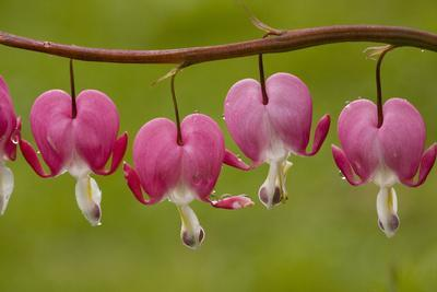 Bleeding-Heart (Dicentra Formosa)