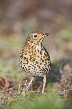 Song Thrush on Grass Front View