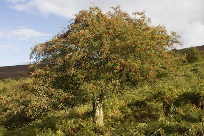 Old Rowan Tree on the Slopes of Dunkery Beacon