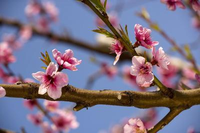 Blossom of Peach in Spring