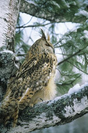 Eagle Owl Adult on Birch Tree in Forest of Ural Mountains