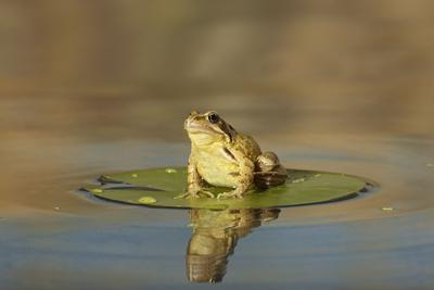 Common Frog on Lily Pad with Reflection