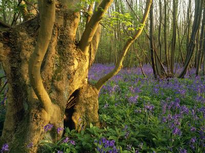 Ancient Ash Stool in Bluebell Wood
