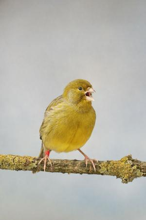 Green Fife Canary Front View Singing, Captive Bred