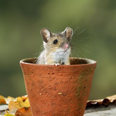 Wood Mouse in Flower Pot