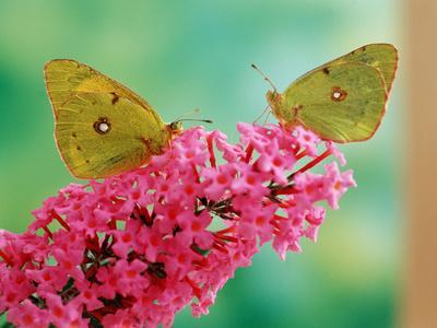 Clouded Yellow Butterflies Two on Pink Buddleia