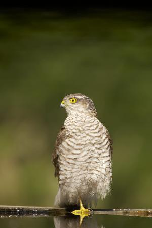 Sparrowhawk Female at Forest Pool