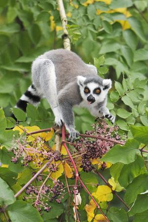 Ring-Tailed Lemur Feeding on Ripened Berries