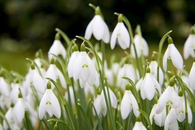 Snowdrop Clump of Flowers
