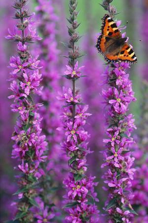 Small Tortoiseshell Butterfly Resting on Purple