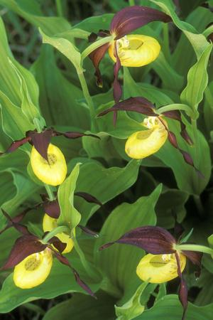 Orchid Ladyos Slipper