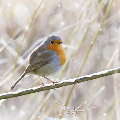 Robin in Winter Snow