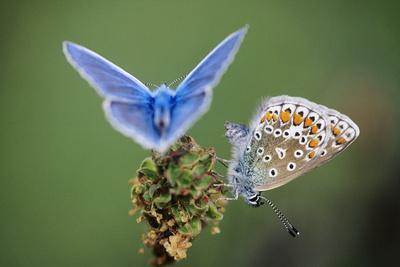 Common Blue Butterfly Male and Female