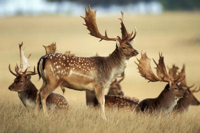Fallow Deer Buck Bachelor Group