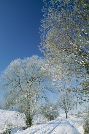 Trees in Snow Hazel (Corylus Avellana) and Willow