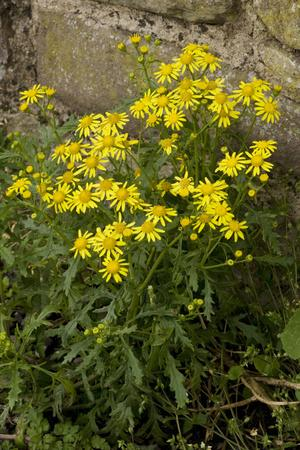 Oxford Ragwort a Widespread Naturalised Weed