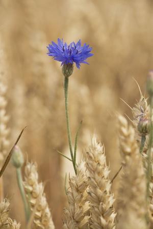 Cornflowers in Cornfield