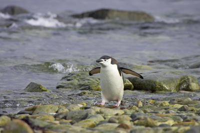 Chinstrap Penguin Coming Ashore