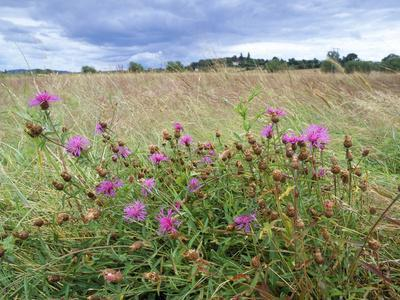 Knapweed in Lugg Meadows, Plantlife Reserve