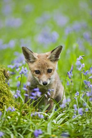 Red Fox Cub in Bluebell Woodland