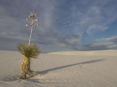 Soaptree Yucca with Beautiful Wind-Sculpted White