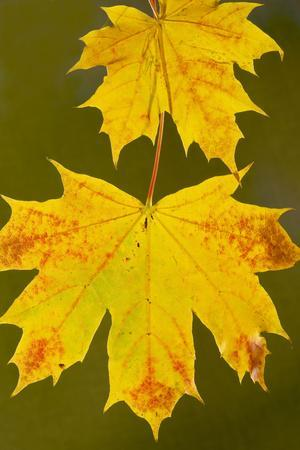 Leaves of Norway Maple in Autumn