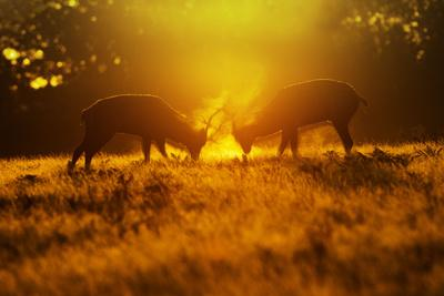 Red Deer Stags Rutting in Mist at Sunrise