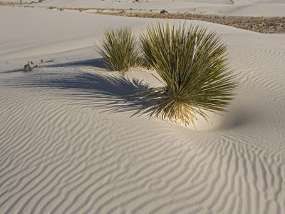 Soaptree Yucca with Beautiful Wind-Sculpted