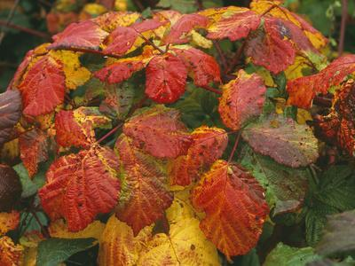 Bramble Leaves in Autumn