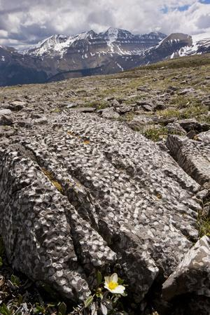 Mountain Avens Among Fossil Coral on Parker Ridge