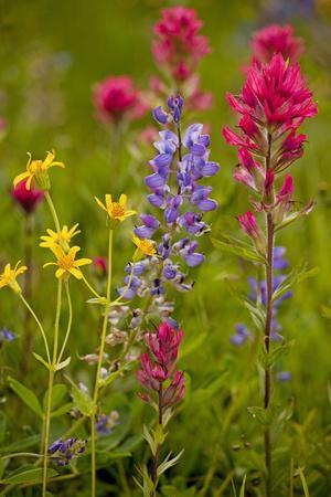 Mountain Flowers Broadleaf Arnica, Magenta Paintbrush