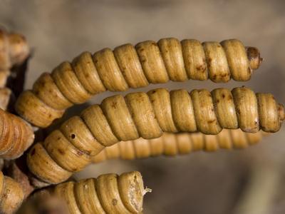 Screwbean Mesquite or Tornillo Corkscrew Pods in Autumn