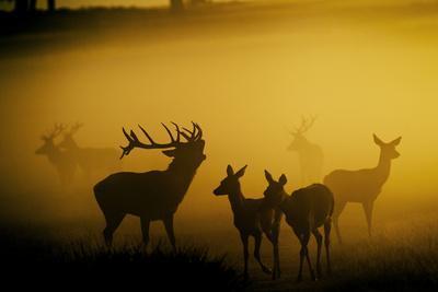 Red Deer in Mist at Sunrise