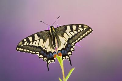 Swallowtail on Flower Wings Open