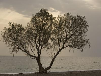 Tamarisk Tree by the Sea