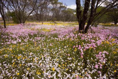 Pink Everlasting, Schoenia Cassiniana = Helichrysum